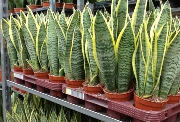 домашние растения в горшках