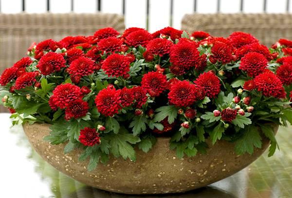 Красные карликовые хризантемы