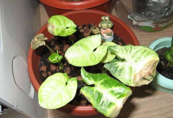 Сохнут листья у сингониума