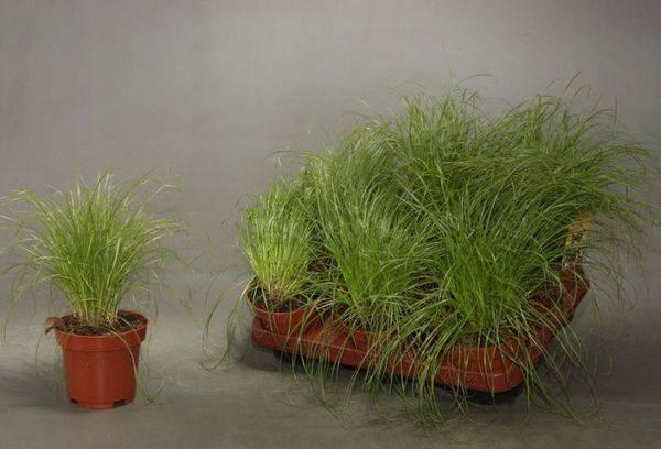 Выращивание циперуса из семян