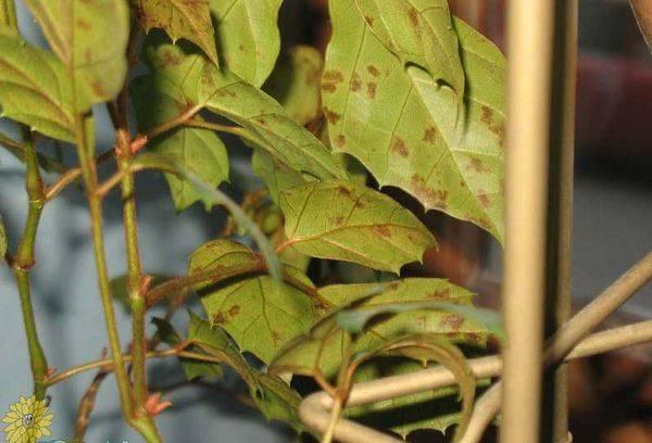 Пожелтевшие листья циссуса