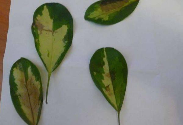 Пожелтевшие листья шеффлеры
