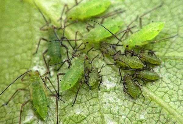 How to get rid of aphids on indoor flowers: chemistry and folk remedies