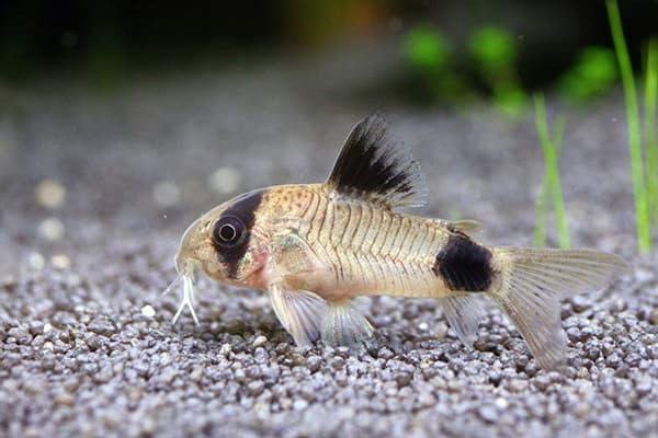 Сомик в аквариуме