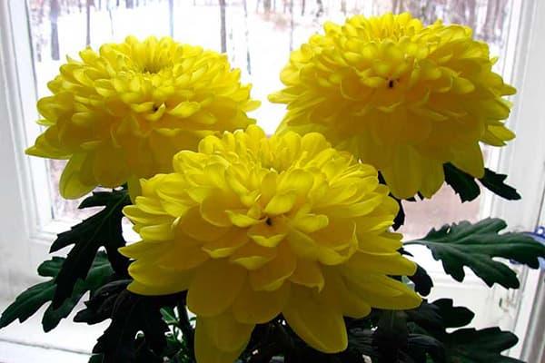 Хризантема на подоконнике