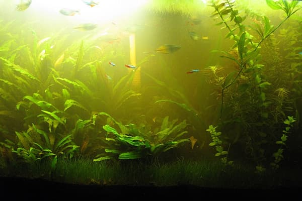 Зелень в аквариуме