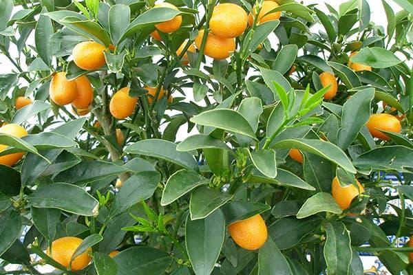 Плоды кумквата на дереве