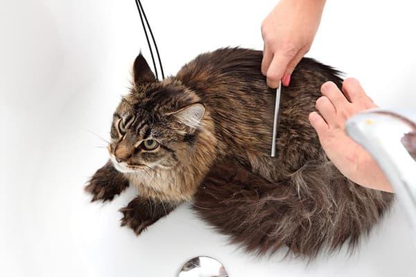 Расчесывание кота после сухого шампуня