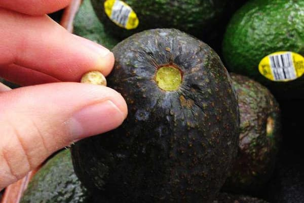 Авокадо сорта хаас