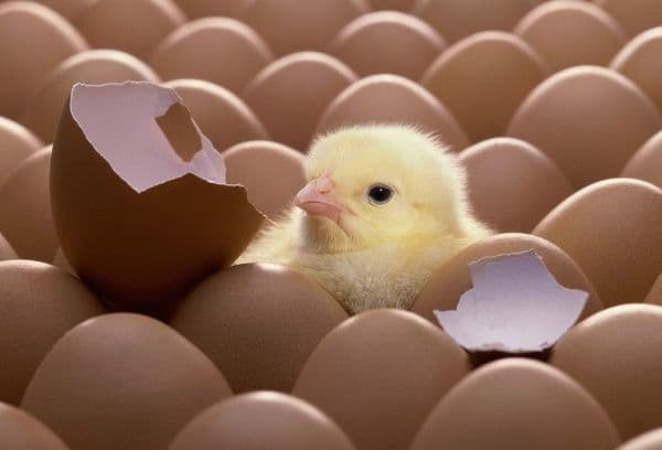 Инкубаторы для куриных яиц