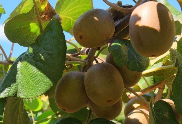 Плоды киви на дереве