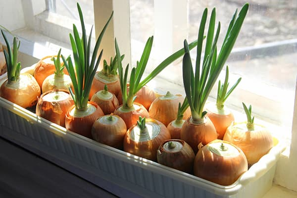 How to plant onions at home at home on a windowsill in the water on greens: sprout the onion