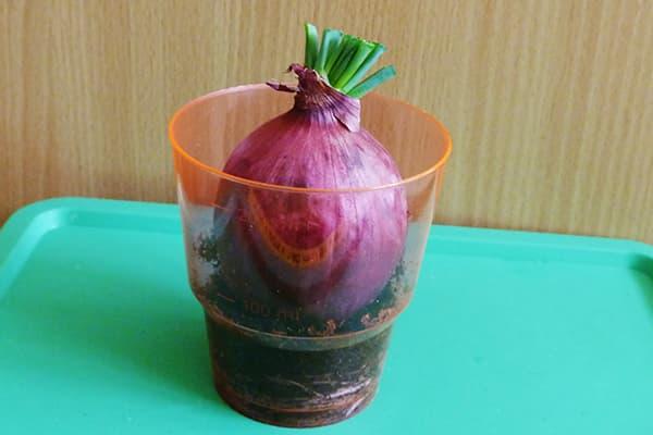 Проращивание луковицы в стакане