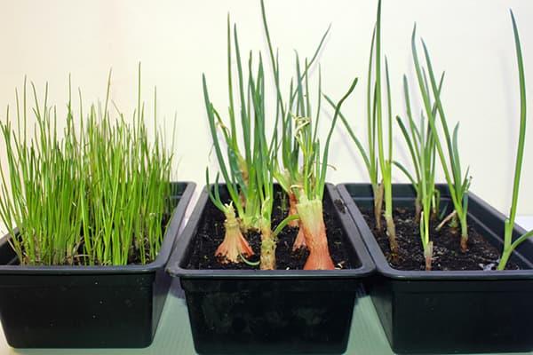 Проращивание разных видов лука