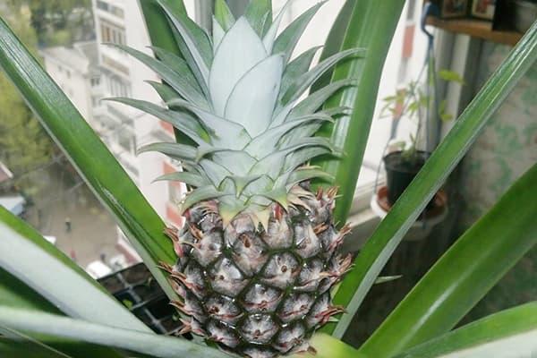 Выращивание ананаса в горшке