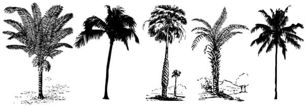Виды финиковых пальм