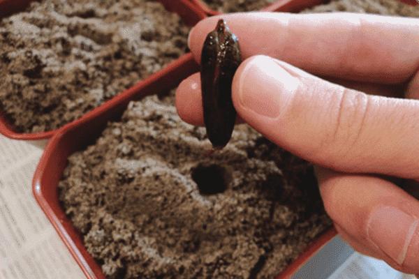 Посадка финиковой косточки в горшок