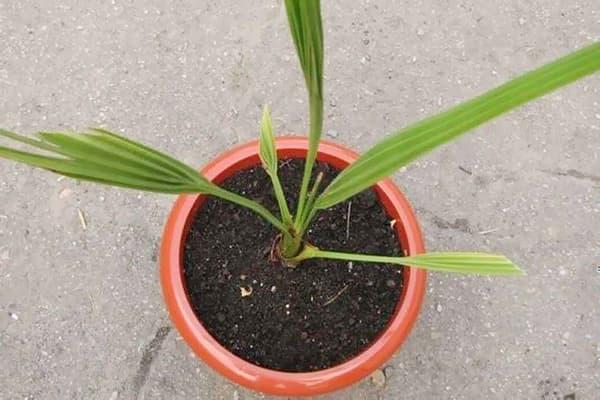 Молодая финиковая пальма в горшке