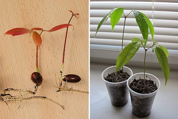 How to sprout lychee from seed at home – planting and caring for seedlings