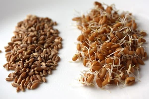 Пшеница до и после проращивнаия