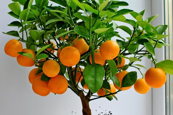 How to sprout tangerine from seed at home: soaking and planting a seed