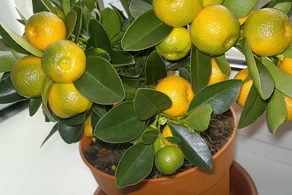 Плодоношение мандарина, выращенного из косточки
