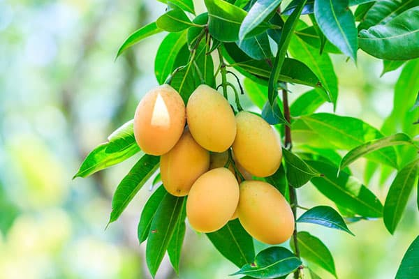 Плоды на дереве манго