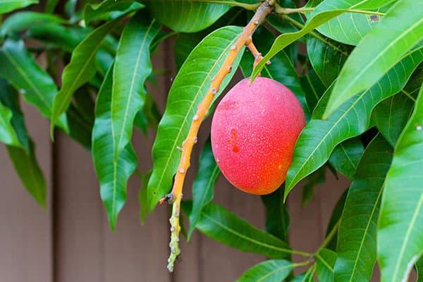 Плод манго на дереве