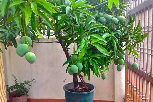 Плодоносящее дерево манго в горшке
