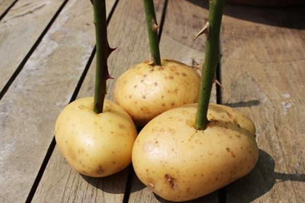 Розы в картофеле