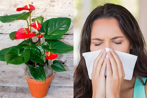 Аллергия на антуриум