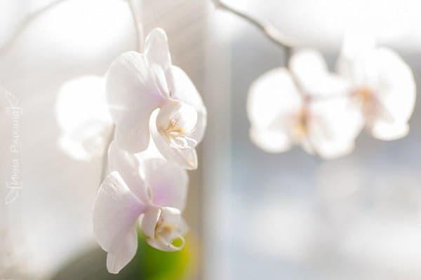 Цветущая орхидея на солнце