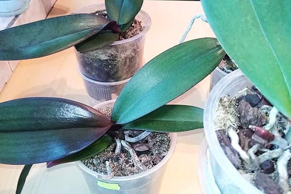 Орхидеи при недостатке света