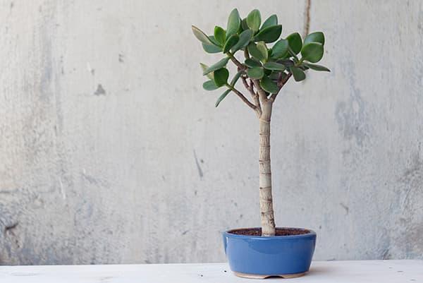 Денежное дерево с высоким стволом
