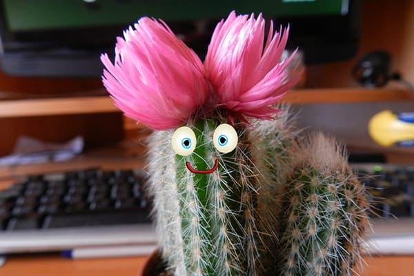 Цветущий кактус на рабочем столе