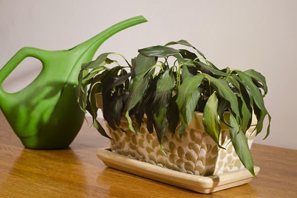 Увядшее комнатное растение