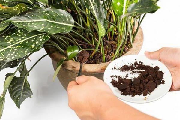 Добавление кофейной гущи в горшок с комнатным растением