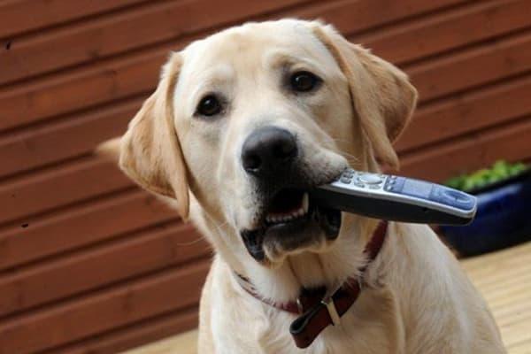 Собака грызет пульт от телевизора