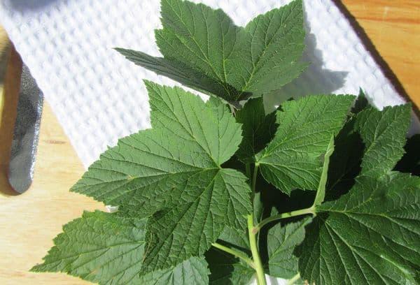Свежие листики смородины