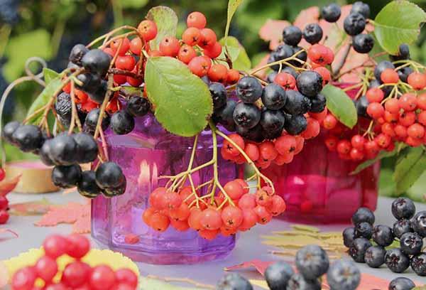 Красная или черноплодная рябина