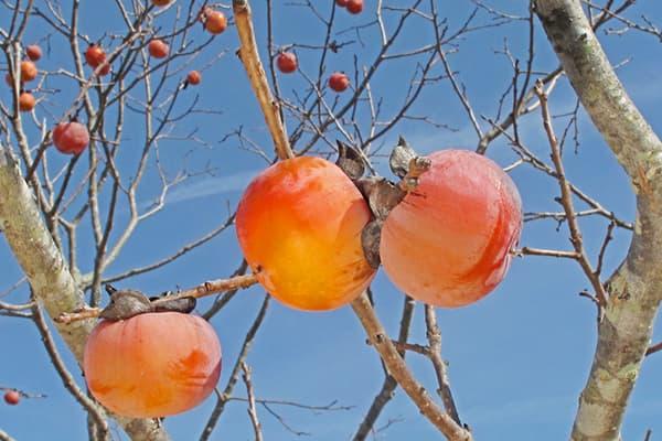 Витамины в хурме, таблица, полезные свойства и особенности плодов