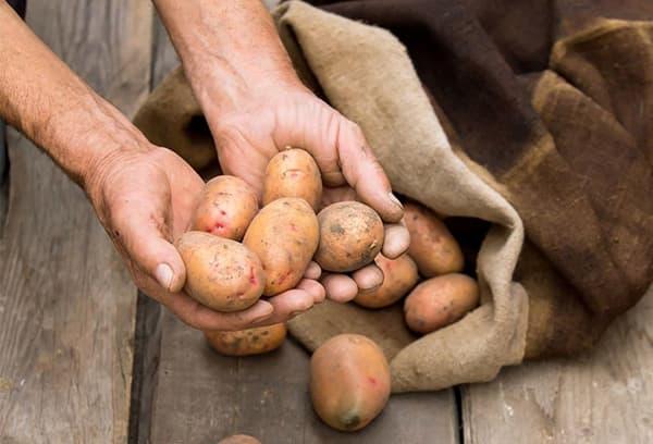 Картофель среднего размера