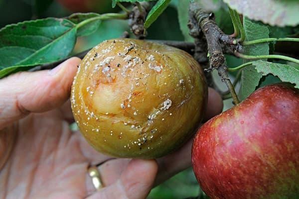 Яблоня, пораженная монилиозом