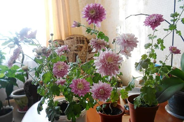 Цветущие хризантемы в горшках