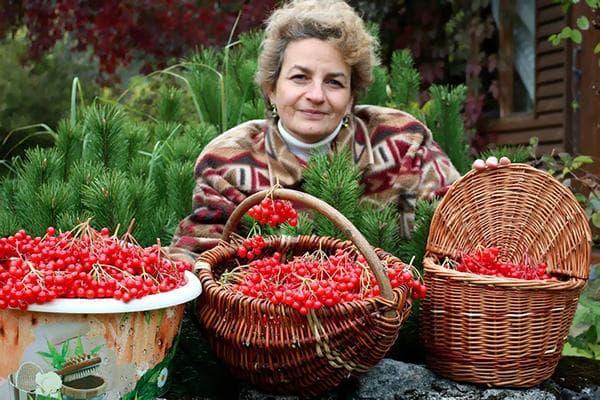 Женщина с собранными ею ягодами калины