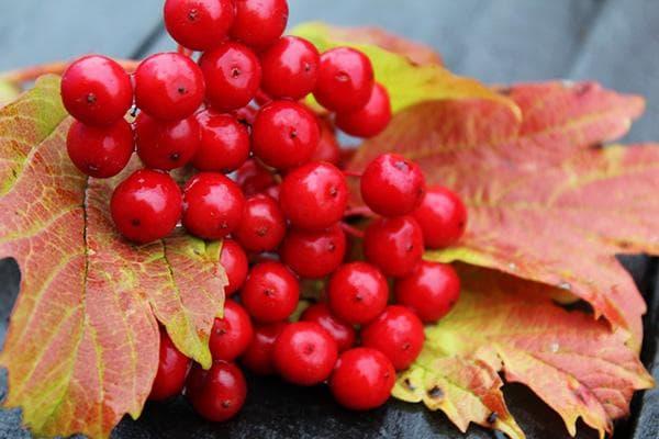 Ягоды и листья калины