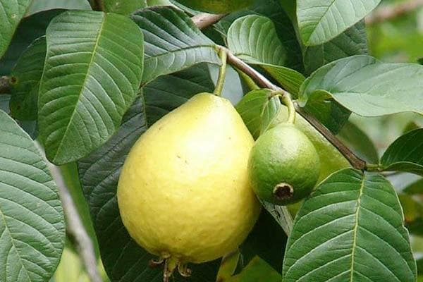Плод гуавы на дереве