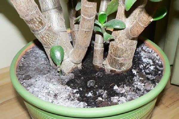 Белый налет в горшке с комнатным растением