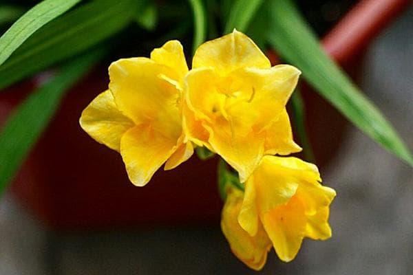Фрезия с желтыми цветами