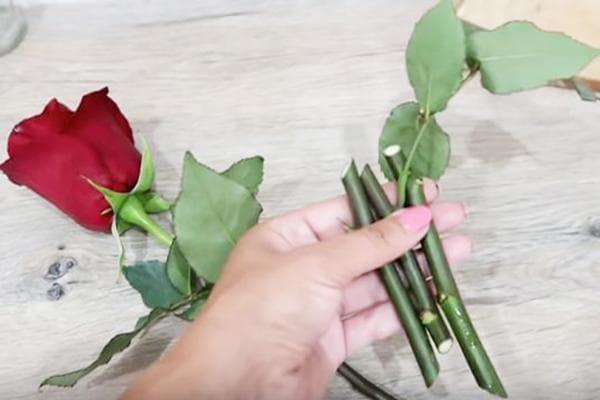 Черенки для укоренения розы из букета